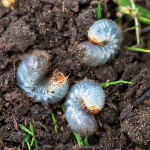 Grub worms 2