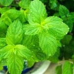 how often to water mint plants