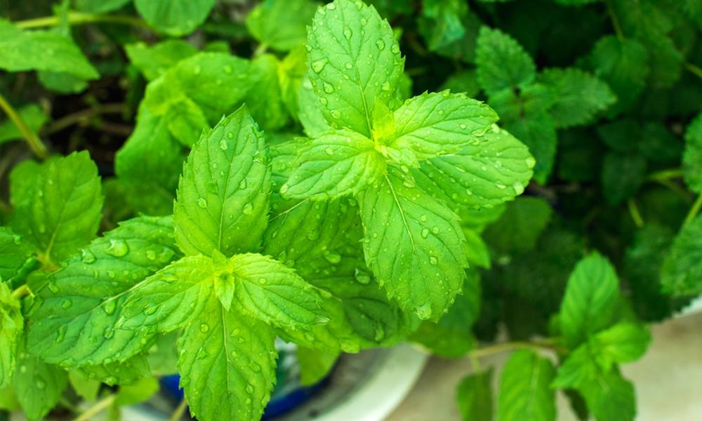 water mint plants