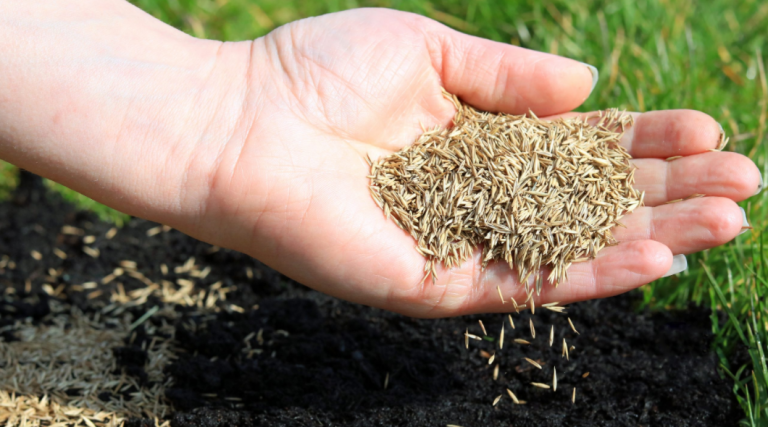 st augustine grass seed