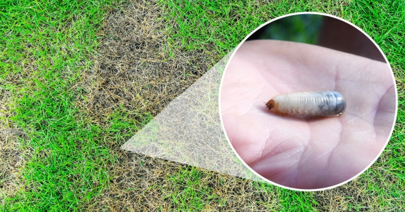 How To Check for Grubs